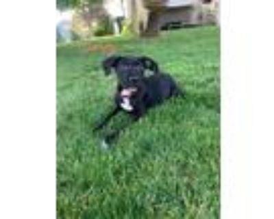 Adopt Manny a Pit Bull Terrier, Labrador Retriever
