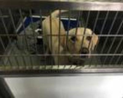 Adopt CALLIE a Tan/Yellow/Fawn Labrador Retriever / Mixed dog in Norfolk