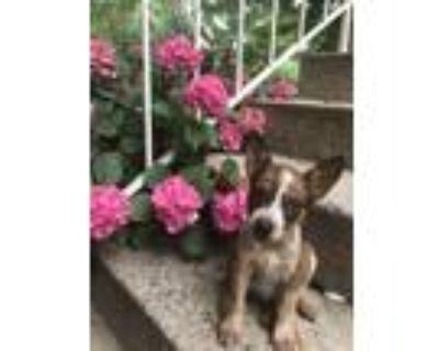 Adopt The Cunning Little Vixen a Blue Heeler / Feist dog in Merrifield