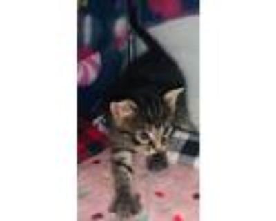 Adopt Gregory a Domestic Short Hair, Tabby