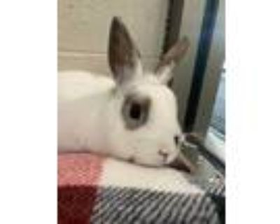 Adopt Goldfish a White Other/Unknown / Other/Unknown / Mixed rabbit in DeKalb