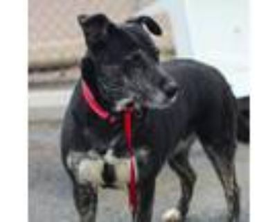 Adopt Emer- She is young and sweet a Black Shepherd (Unknown Type) / Mixed Breed