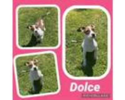 Adopt Dolce a Brindle - with White Boxer / Mixed dog in Scottsdale