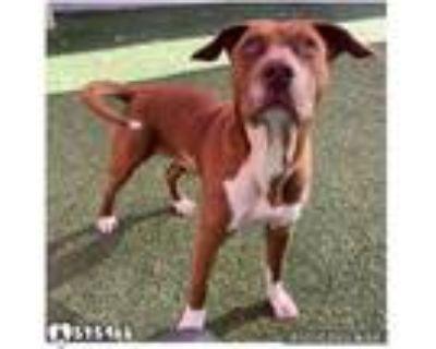Adopt RADAR a Brown/Chocolate - with White Labrador Retriever / Mixed dog in San