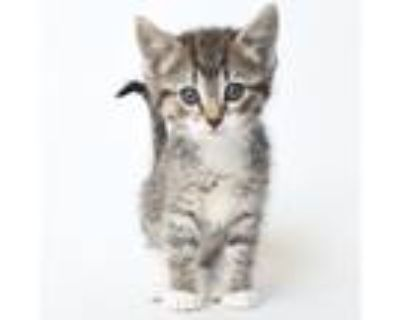 Adopt Caldwell a Brown or Chocolate Domestic Shorthair / Mixed cat in
