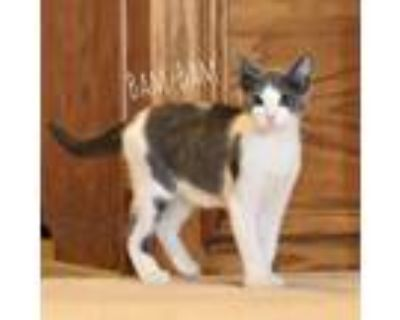 Adopt Bam Bam a Gray or Blue Domestic Shorthair / Mixed cat in Wichita