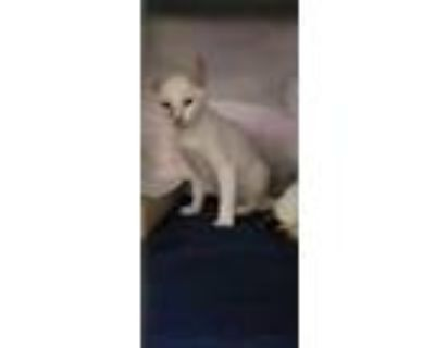 Adopt 48304134 a White Domestic Shorthair / Mixed cat in El Paso, TX (32067420)
