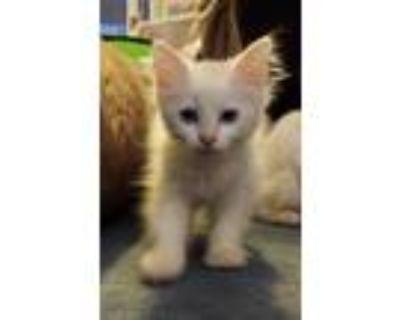 Adopt Elsie a White Siamese (long coat) cat in Rosemead, CA (31951286)