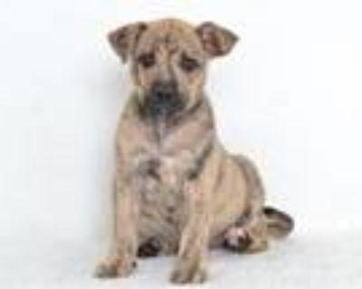 Adopt A591451 a Catahoula Leopard Dog, Labrador Retriever