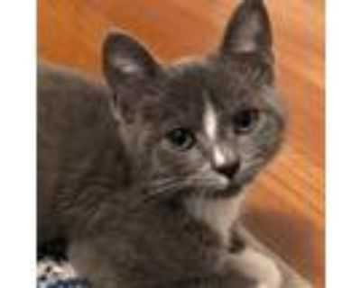 Adopt Lavender a Gray or Blue Domestic Shorthair / Mixed cat in Cumming