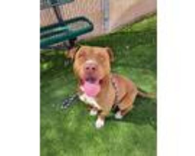 Adopt Squid - Phoenix area (COURTESY POST) a Pit Bull Terrier