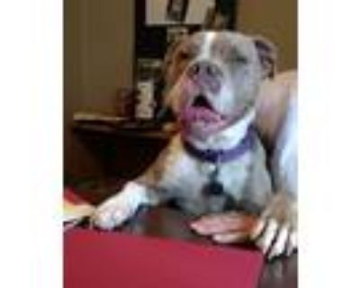Adopt Indie a American Pit Bull Terrier / Mixed dog in Little Rock