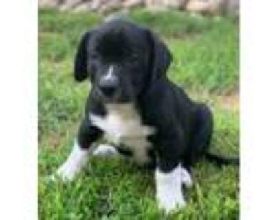 Adopt Zeke Talbot-A Z Pup a Hound, Labrador Retriever