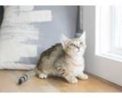 Adopt Taylor a Brown Tabby Domestic Shorthair (short coat) cat in Dayton
