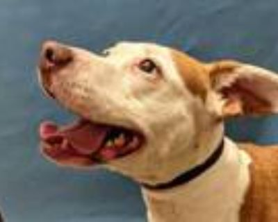 Adopt Greta a Brown/Chocolate American Pit Bull Terrier / Mixed dog in Coon