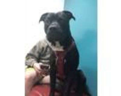 Adopt Thor a Black - with White American Pit Bull Terrier / Labrador Retriever /