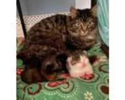 Adopt Denali on hold a Maine Coon