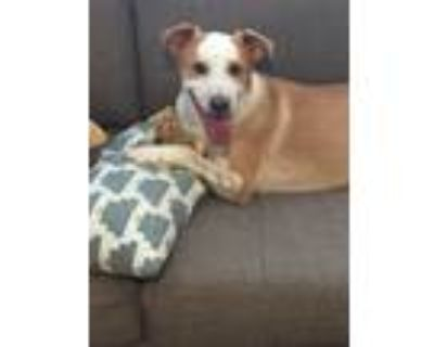 Adopt Jakobe a Tan/Yellow/Fawn - with White Border Collie / Australian Cattle