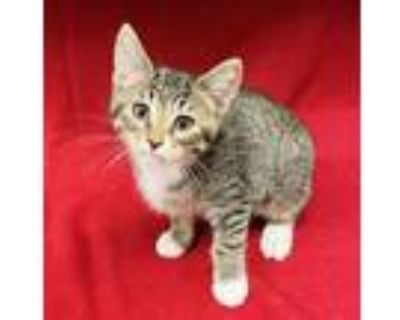 Adopt Sniff a Domestic Short Hair