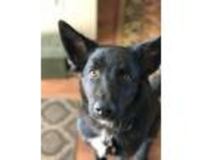 Adopt Baloo a Black - with White Belgian Shepherd / Mixed dog in Lancaster