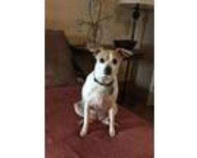 Adopt Sheba (OH) a Rat Terrier