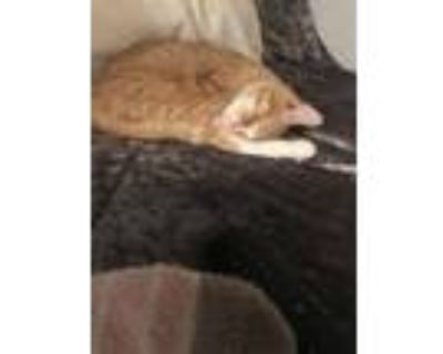 Adopt Creme a Orange or Red Tabby Domestic Shorthair / Mixed (short coat) cat in