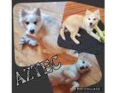 Adopt Aztec a White Siberian Husky / Mixed Breed (Large) / Mixed dog in Mead