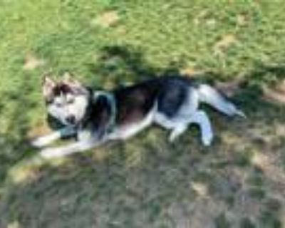 Adopt Kipper a Black - with White Husky / Mixed dog in San Jose, CA (31477745)