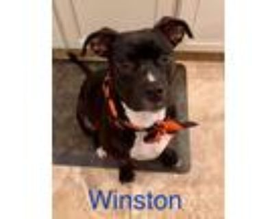 Adopt WINSTON a Black - with White Staffordshire Bull Terrier / Mixed dog in