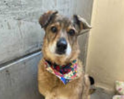 Adopt MAX a Brown/Chocolate - with Black German Shepherd Dog / Mixed dog in