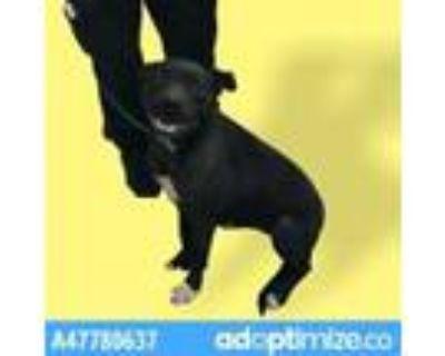 Adopt 47780637 a Black Labrador Retriever / Mixed dog in El Paso, TX (31611258)