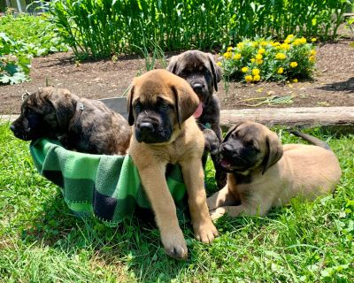 Just Listed***Mastiff Puppies to ❤️❤️❤️