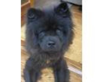 Adopt Bowie a Black Chow Chow / Mixed dog in Houston, TX (31676919)