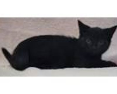 Adopt Pugsly a Domestic Short Hair