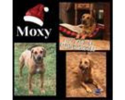 Adopt Moxy a Black Labrador Retriever, Hound