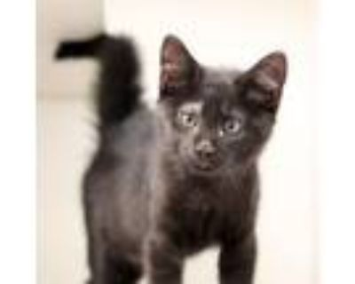 Adopt Boomer a All Black Domestic Shorthair / Domestic Shorthair / Mixed cat in