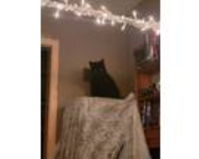 Adopt Teenie a All Black Colorpoint Shorthair / Mixed (short coat) cat in