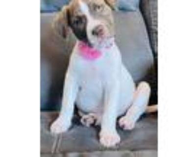 Adopt Mercedes a Shepherd (Unknown Type) / Pit Bull Terrier / Mixed dog in
