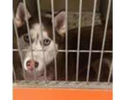 Adopt Red feather a Siberian Husky