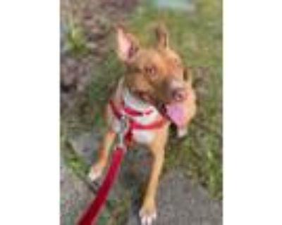 Adopt Lizzy - READ MY BIO! a Red/Golden/Orange/Chestnut Pit Bull Terrier / Mixed