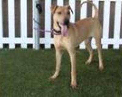 Adopt AUTUMN a Labrador Retriever, Shar-Pei
