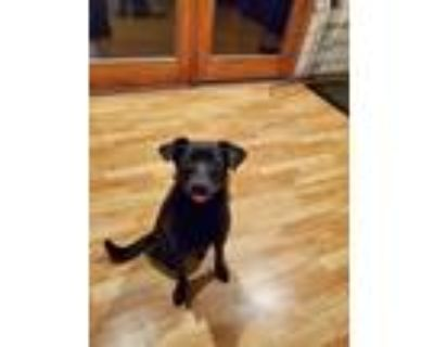 Adopt Pelusa a Black Labrador Retriever / Fox Terrier (Smooth) / Mixed dog in