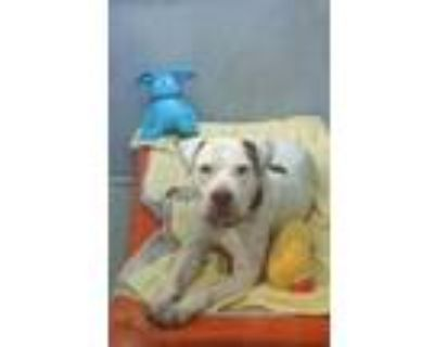 Adopt Cookie a White American Pit Bull Terrier / Mixed dog in Washington