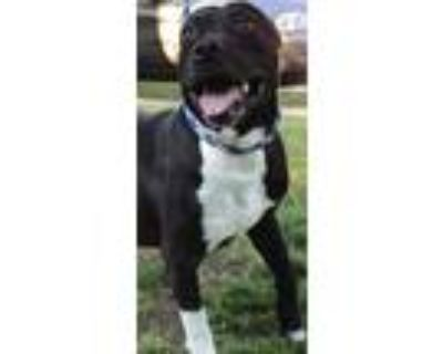 Adopt Perry a Black - with White Pit Bull Terrier / Mixed dog in Zuni