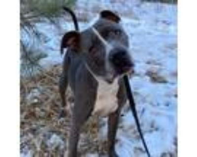 Adopt Louie a American Pit Bull Terrier / Mixed Breed (Medium) / Mixed dog in