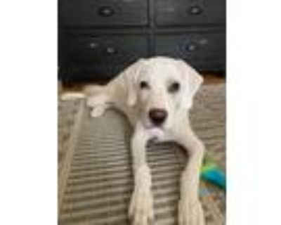 Adopt Claire a White - with Tan, Yellow or Fawn Labrador Retriever / Mixed Breed