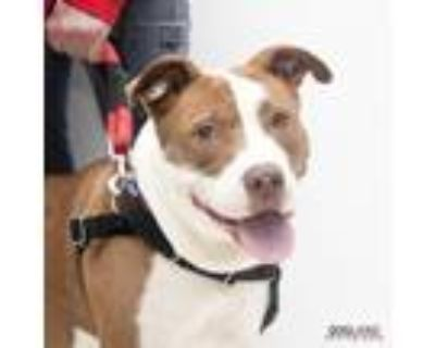 Adopt Mum a Tan/Yellow/Fawn American Pit Bull Terrier / Mixed dog in