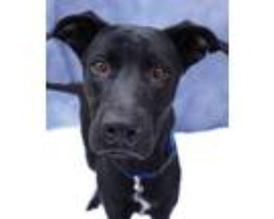 Adopt Kaiser a Black - with White Labrador Retriever / Mixed dog in Encinitas