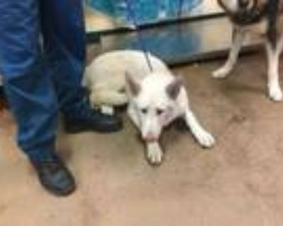 Adopt Dog a White Husky / Mixed dog in Thousand Palms, CA (32067909)