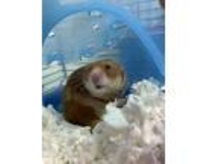 Adopt Pancake a Orange Hamster / Mixed small animal in Lowell, MA (31935580)